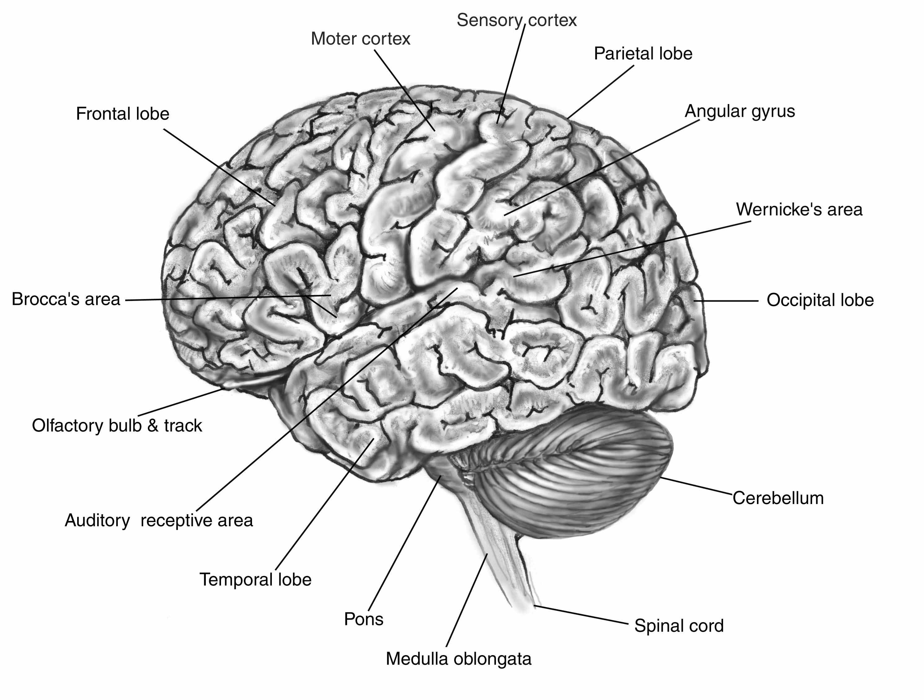 Brain Diagram With Vocabulary - Block And Schematic Diagrams •
